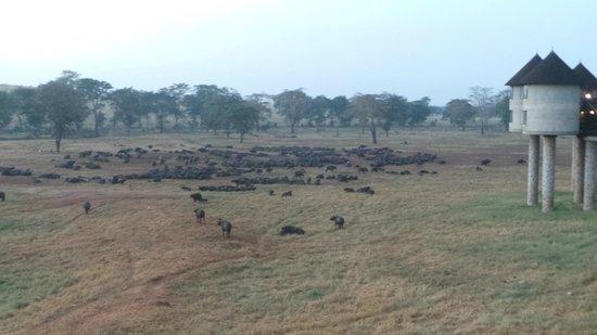 Sarova Salt Lick Game Lodge: all the buffalo