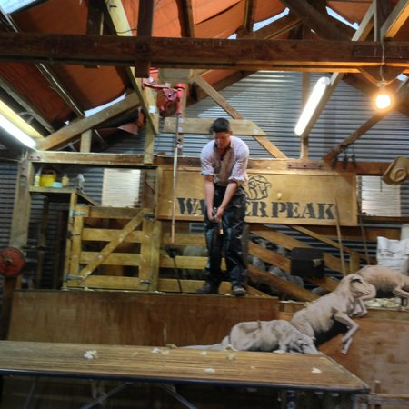 Walter Peak Evening Dining Excursions - Real Journeys: Sheep shearing