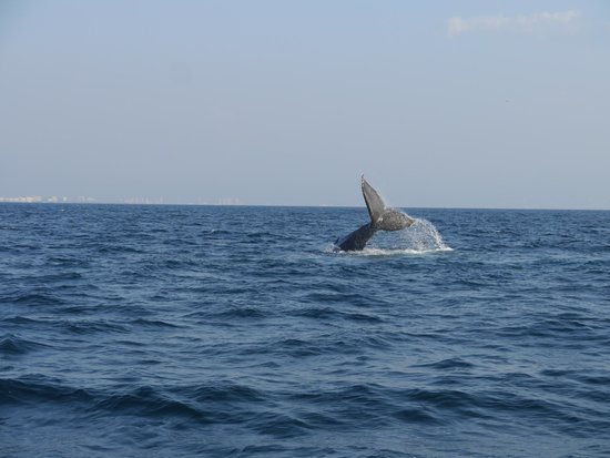 Red Dolphin Sailing Charters : Whale watching Banderas Bay