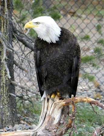 Grizzly and Wolf Discovery Center: One of the bald eagles