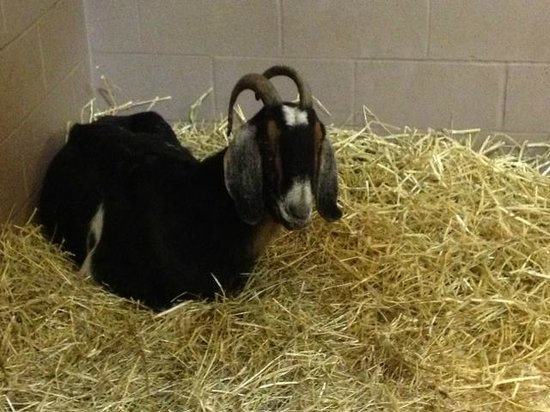 Lollypop Farm: Goat in the barn