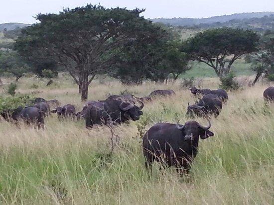 Monzi Safaris: Een kudde buffels
