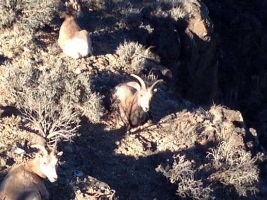 Rio Grande Gorge Bridge: very healthy mountain goats