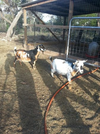 Walnut Canyon Guest Cabins : Goats