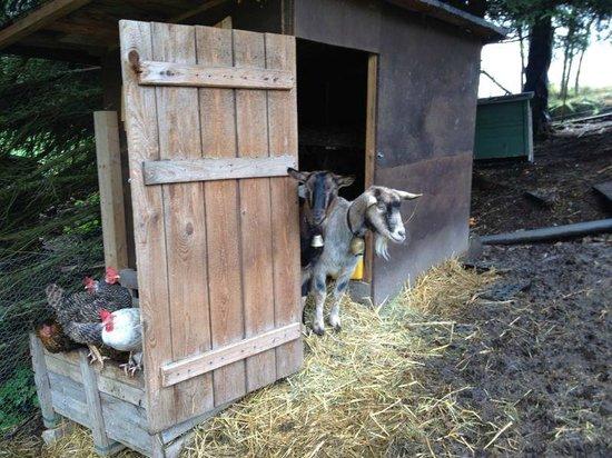 Landhotel Bierhaeusle: The goats