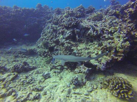Oahu Diving: A reef shark