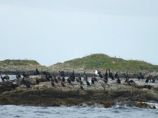 Sea Life Surveys : Sea bird colony...spot the odd one out