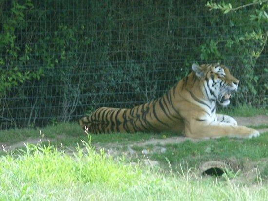 Planète Sauvage: tigre