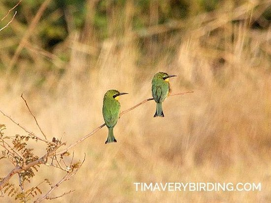 Bushbuck River House: Little Bee-Eaters in the year