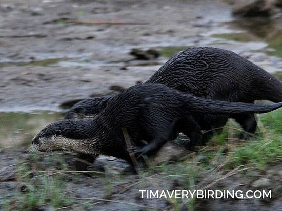Bushbuck River House: Clawless River Otters on the river
