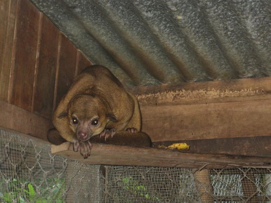 Tree of Life Wildlife Rescue Center and Botanical Gardens : The rarely-seen kinkajou!