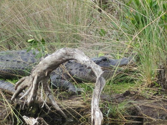 Tour the Glades: A huge Gator, basking on the grass.