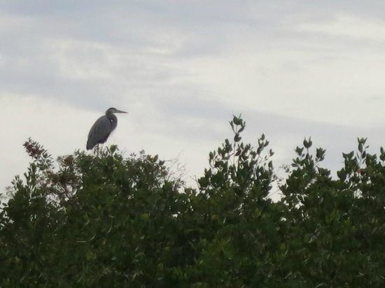 Tour the Glades: Great Blue Heron.