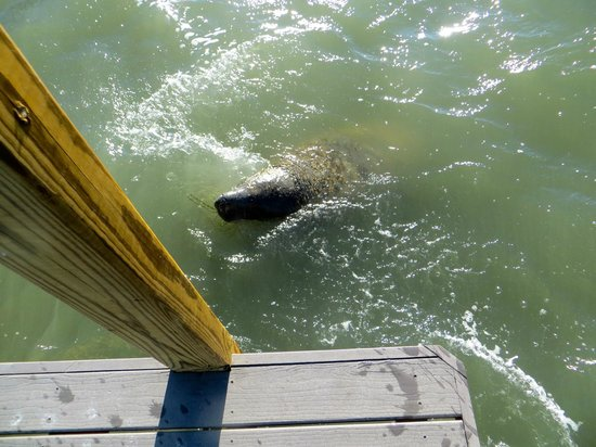 Seafarer Resort and Beach : Manatee at the dock