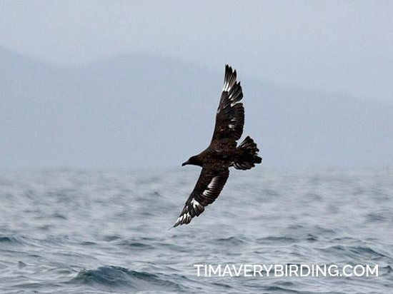 Apex Shark Expeditions: Brown Skua