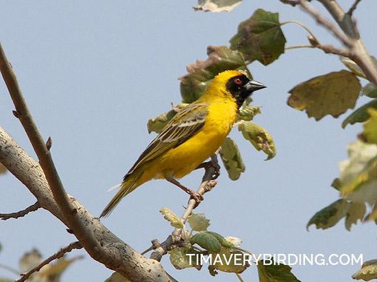 Airport Game Lodge: Southern Masked Weaver