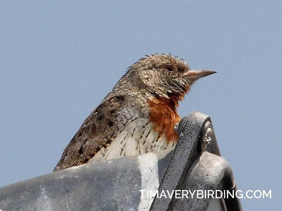 Airport Game Lodge: Red-throated Wryneck