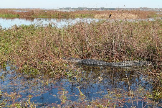 Aquatic Adventures Airboat Tours: Large male alligator