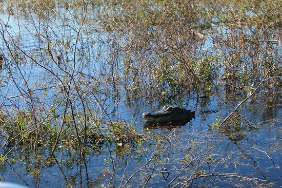 Aquatic Adventures Airboat Tours: Female alligator