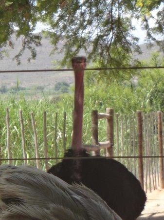 Safari Ostrich Show Farm : See Ostriches up close!