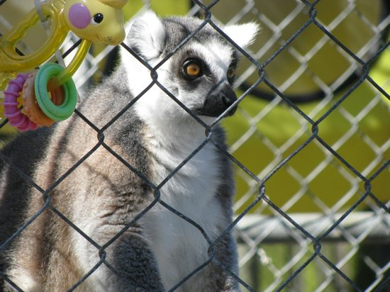 Suncoast Primate Sanctuary Foundation, Inc.: Ring tailed lemur