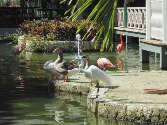 Iberostar Dominicana Hotel: Birds that live by the buffet