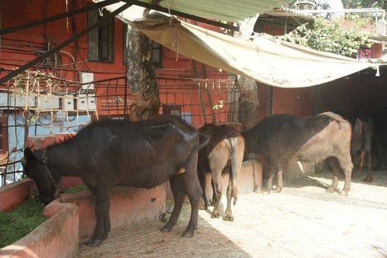Mrs. Bhandari's Guesthouse: Mrs Bandari's Guesthouse (Amritsar) -cattle next to quest quarters