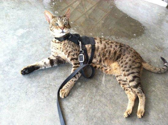 Buy Bengal Cat Uk