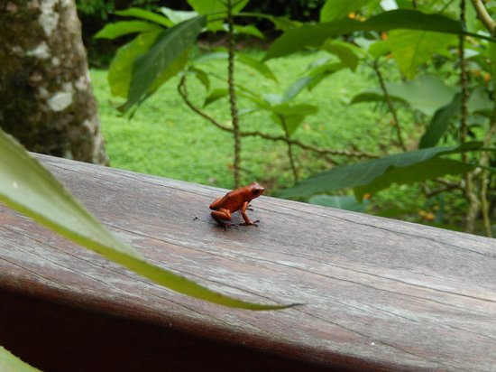 Samasati Retreat & Rainforest Sanctuary: do-not-touch-me frog