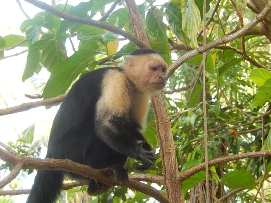 Samasati Retreat & Rainforest Sanctuary: Cappuccino face monkey