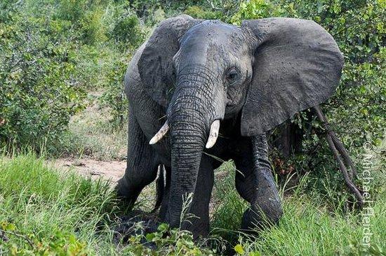 Shindzela Tented Safari Camp: One of many elephants we saw.