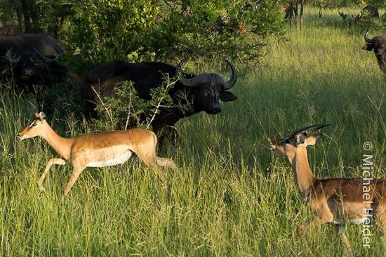 Shindzela Tented Camp: Impala runs by Cape Buffalo