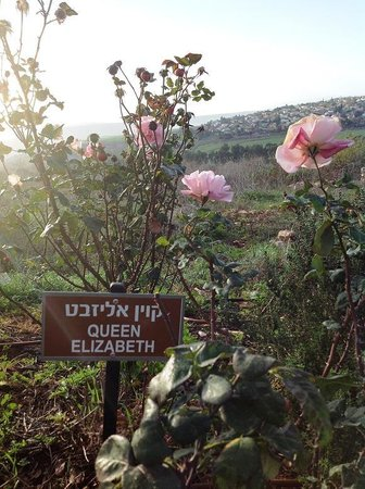 Kibbutz Lavi Hotel: Along the nature trail - Queen Elizabeth Rose
