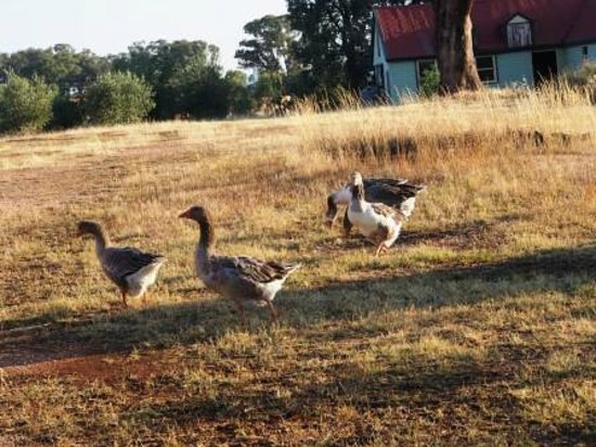 Mount Ophir Estate: Geese roaming grounds