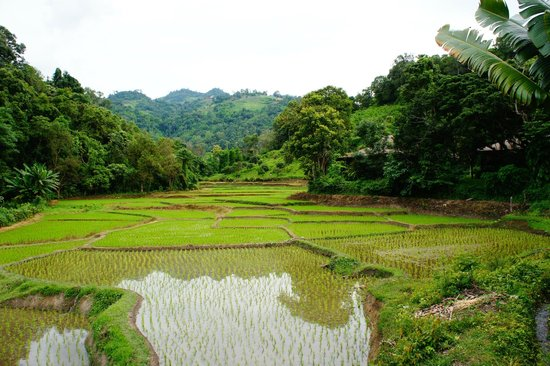 Hmong Hilltribe Lodge : rice paddies