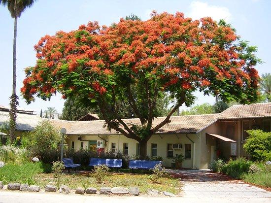 Kibbutz Degania Alef : Beautiful tree in bloom, Degania Alef
