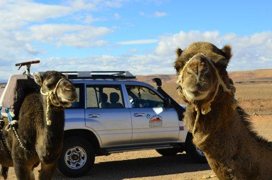 Sahara Garden: Camels en route!
