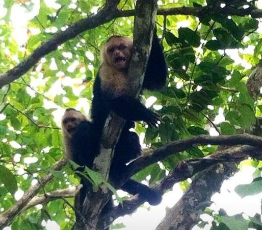 Falls Resort at Manuel Antonio: These little guys came to visit us within minutes of checking in!