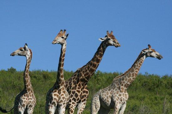 Botlierskop Private Game Reserve : Giraffe