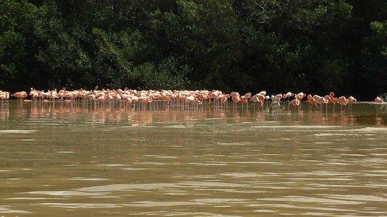 Flamingo Tours: Celestun flamingos
