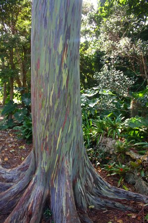 Fairchild Tropical Botanic Garden: very special Eucalyptos Deglupta from SE Asia