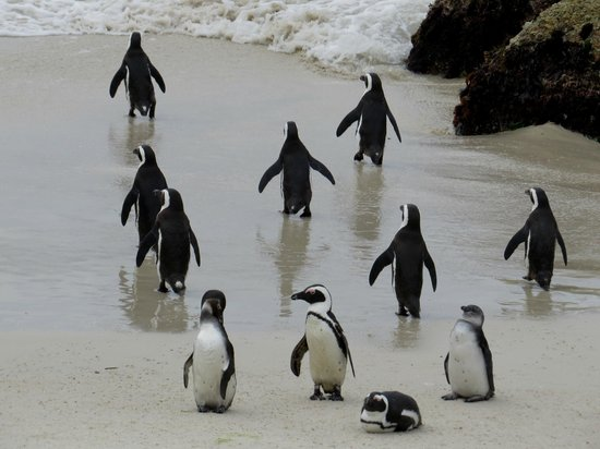 Boulders Beach: Off for a paddle