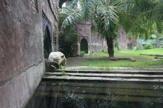 Bali Safari & Marine Park : White Tiger