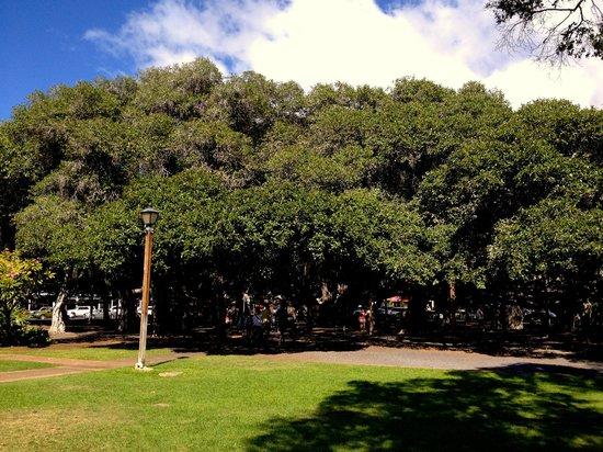 Banyan Tree Park : Banyan Tree, Lahaina