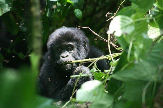 Bwindi Impenetrable National Park : Shongi Tribe baby!!