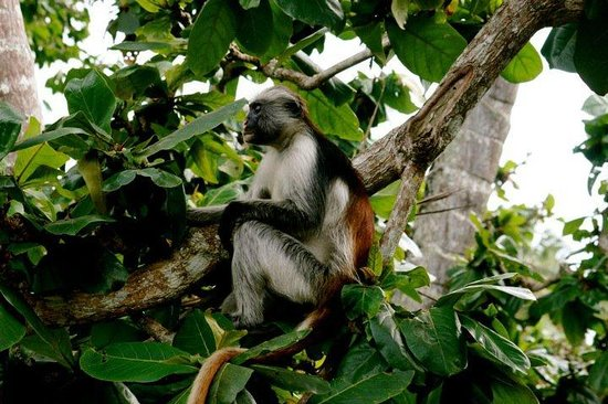 Jozani Forest Reserve : red colobus monkey