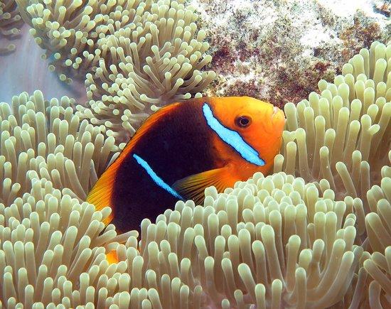 Top Dive, Bora Bora: clownfish
