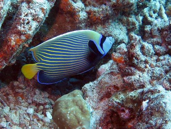 Top Dive, Bora Bora: emperor angelfish