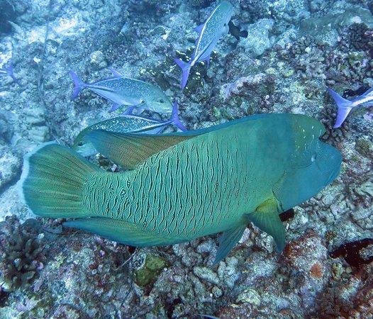 Top Dive, Bora Bora: large Napoleon wrasse