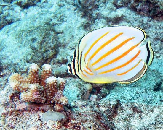 Top Dive, Bora Bora: ornate butterflyfish